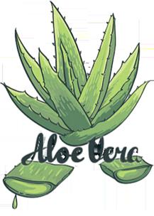 Aloe Vera Composition   Cure Aloe Vera   Feuille Aloe Vera