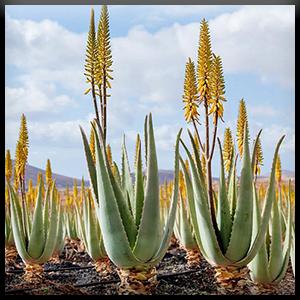 Aloe vera fleur