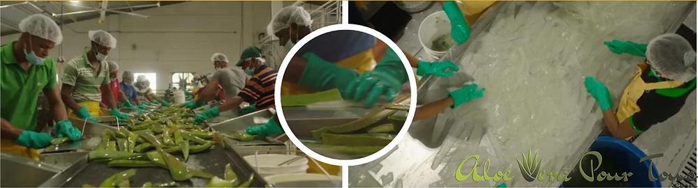 L'aloe vera Forever, Le lavage et la récupération du mucilage