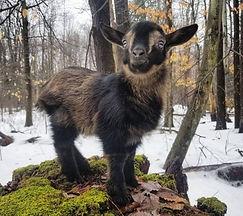 O'Brien Farm's Wee Petite Nigerian Dwarf Goat