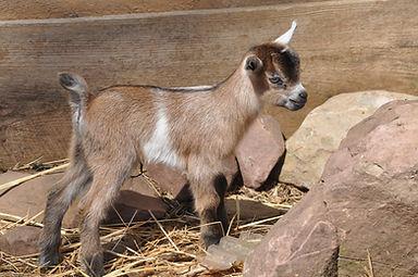 O'Brien Farm's Evie Nigerian Dwarf goat