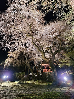 夜の西行桜