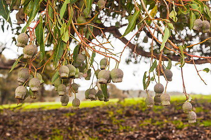 treesperth.jpg