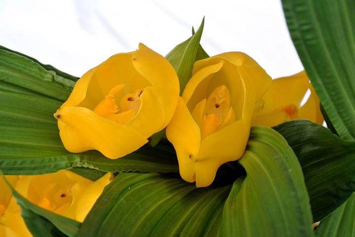 Orquídeas en la Ullumbe