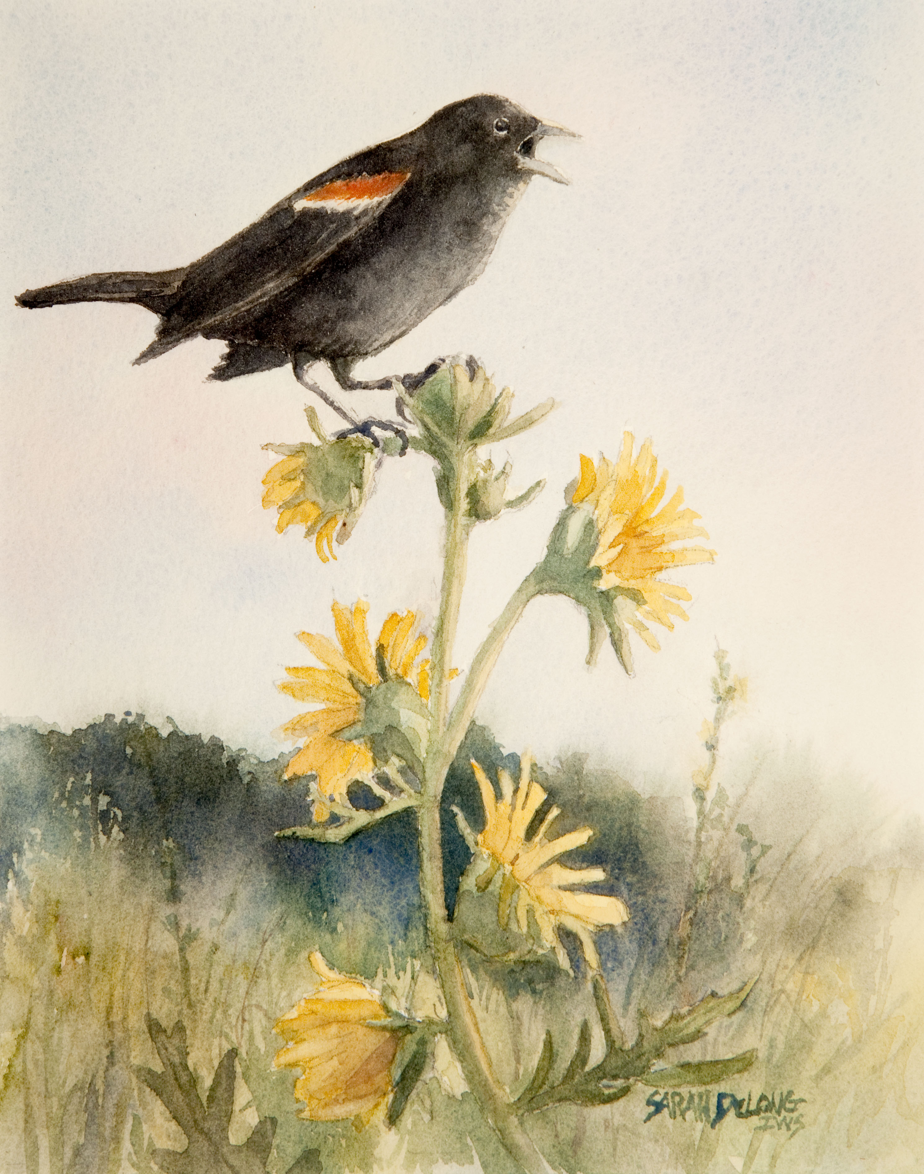 Redwing Black Bird on Compass Plant