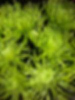 green anastacias