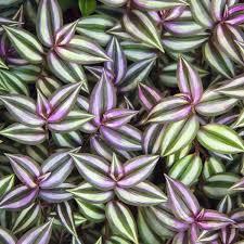 purple jew