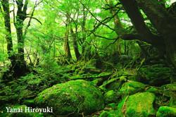 屋久島、白谷雲水峡谷の原生林 (鹿児島県)