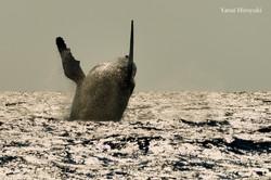 ザトウクジラ 沖縄慶良間諸島