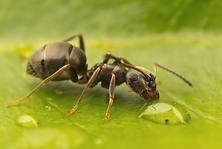 ant.png