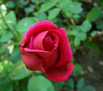 rose bud.png