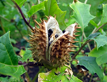 thorny.png
