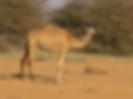 she camel.png