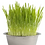 Thumbnail: Pet Bowl Cat Grass