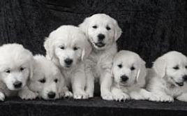English Cream Golden Retriever Puppies
