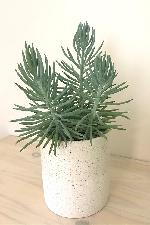 Succulente & son pot en céramique