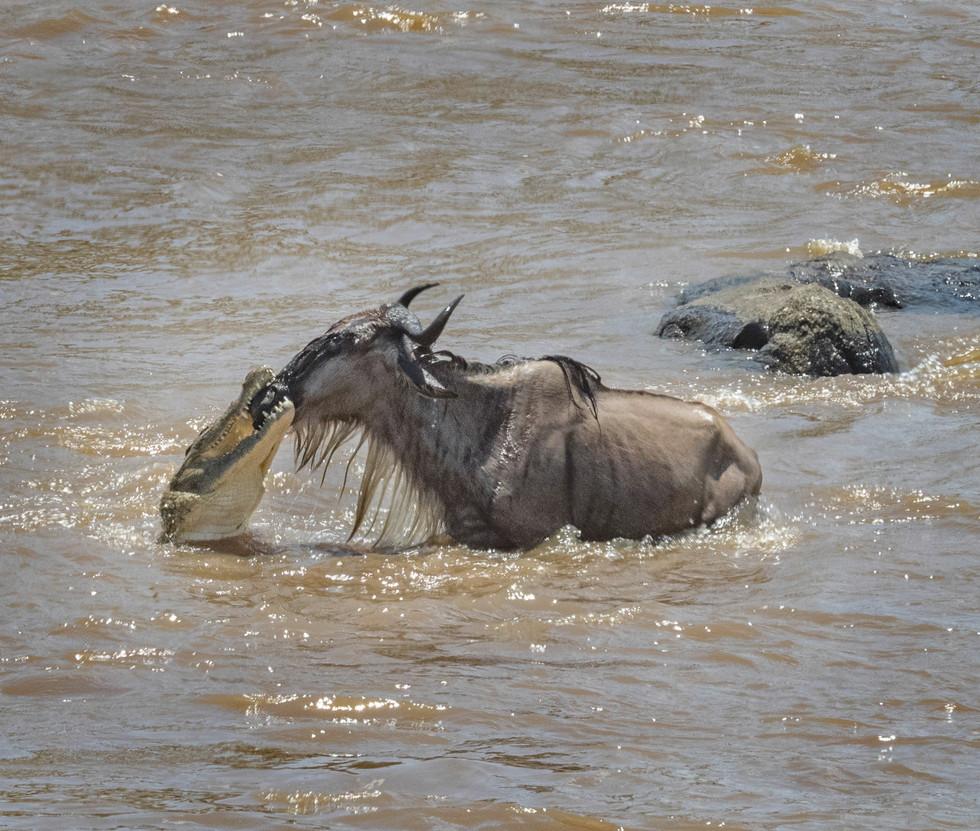 Wildebeest and Crocodile