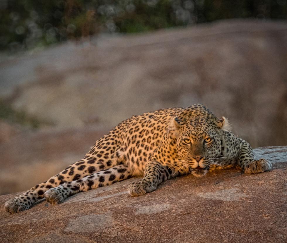 Snarling Leopard