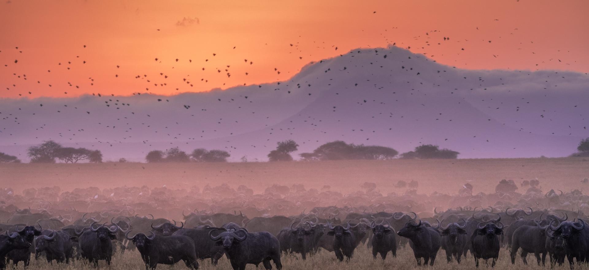Buffalo at Sunrise