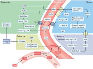 Caminhos metabólicos do Jejum