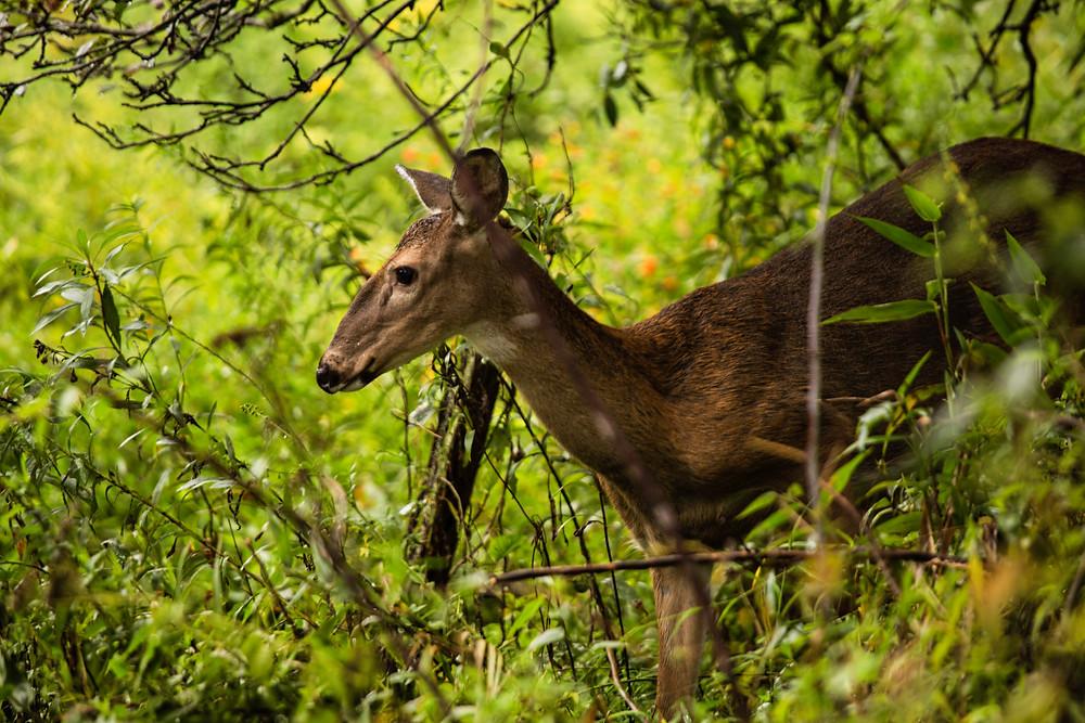 doe peeking through the trees