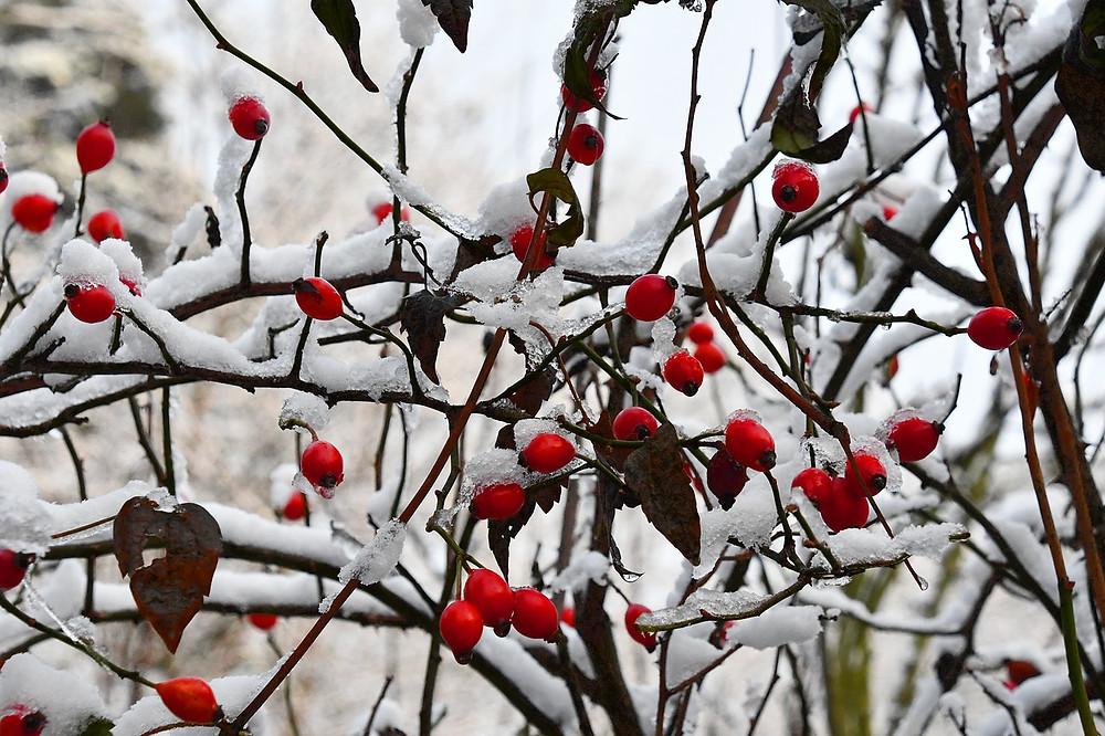 rosehip tree