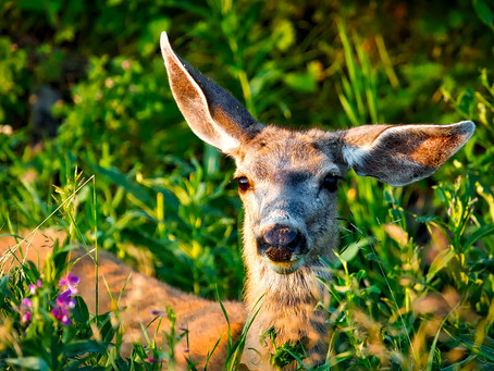 The Dirt on Adorable Pests: Deer