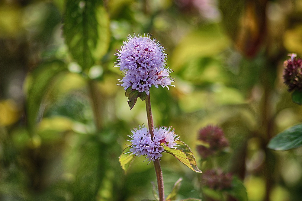 Watermint Plant
