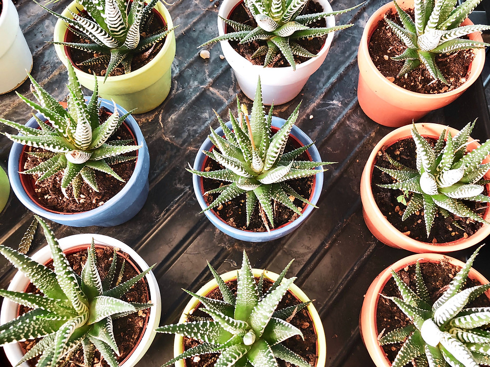 aloe vera succulents