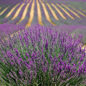 Top Ways to Use Lavender Oil