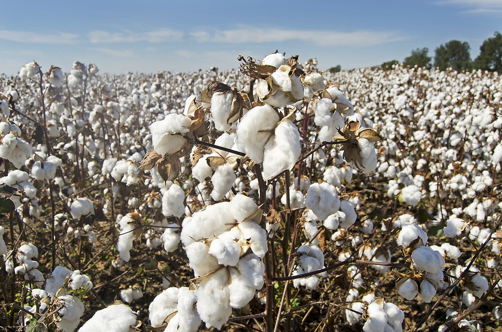 field of cotton plants