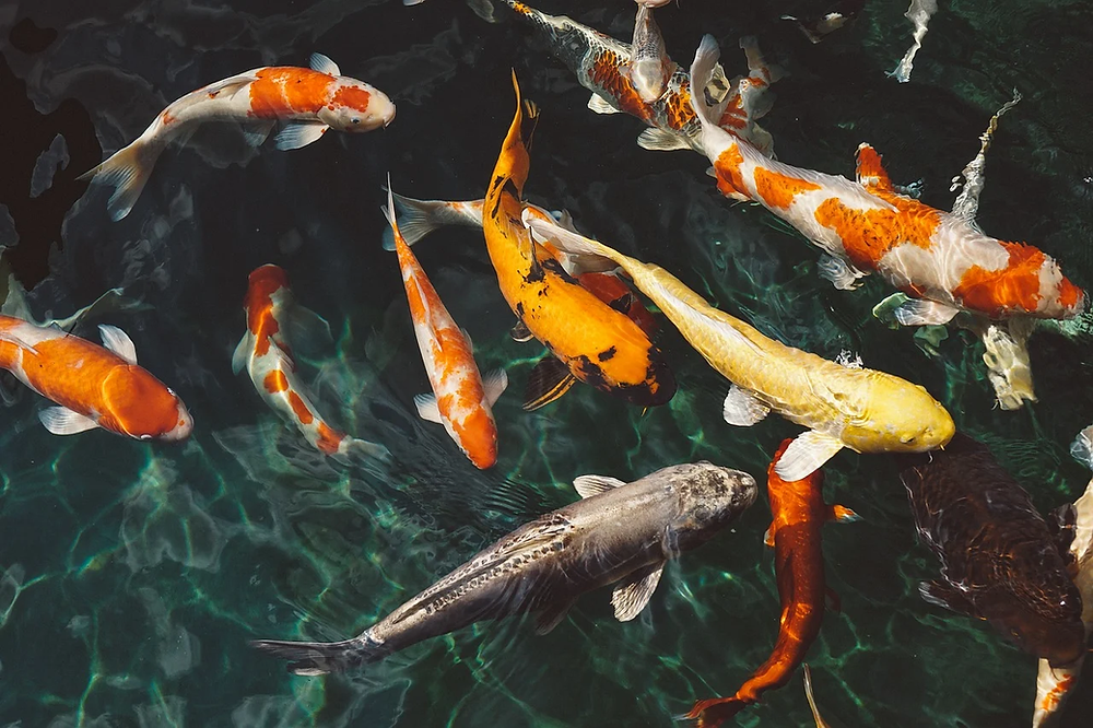 Koi Fish in Japanese garden