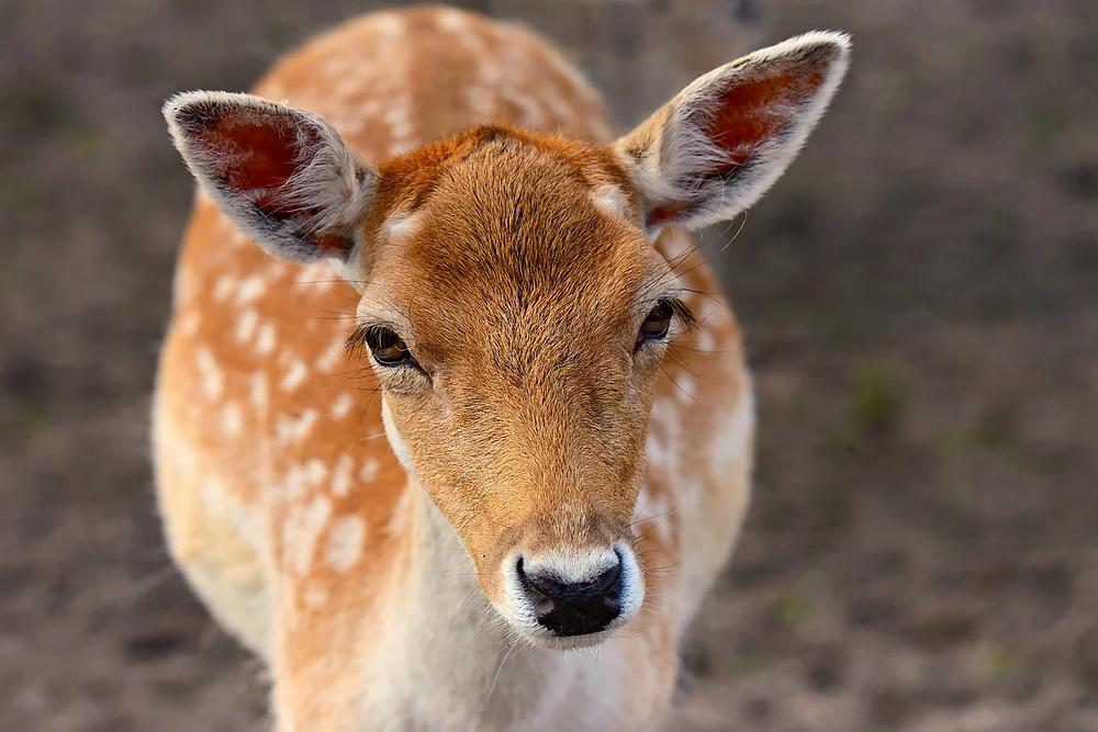 Deer with spots
