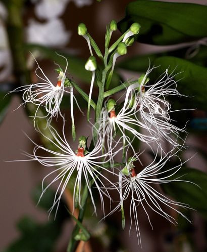 Medusa orchid