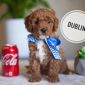 DUBLIN Petite male - RESERVED