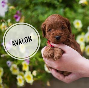 Avalon - AVAILABLE