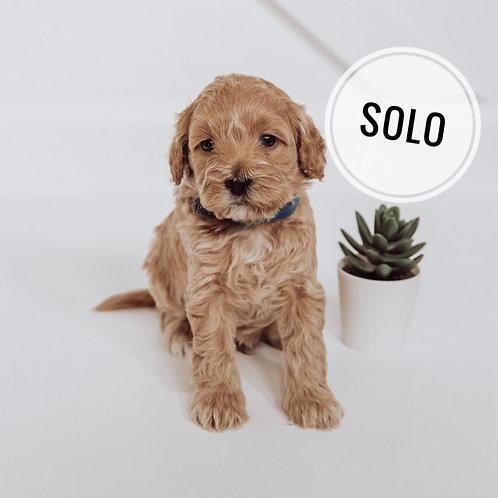 Solo Micro F1bb Goldendoodle