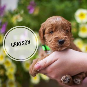 Grayson - AVAILABLE