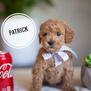 PATRICK - Micro male RESERVED