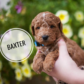 Baxter - AVAILABLE