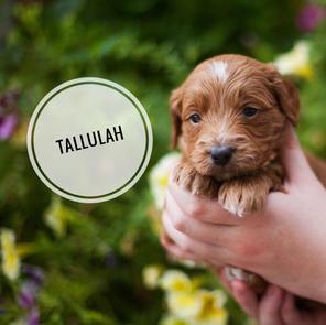 Tallulah - AVAILABLE