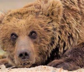 Mongolia's Gobi Bear