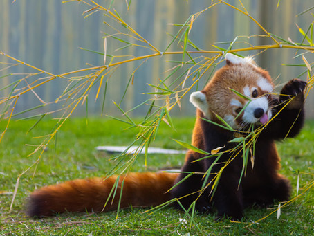 The Red Panda: Adorable Arboreal & at Risk!