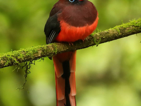 The Elusive Ward's Trogon!