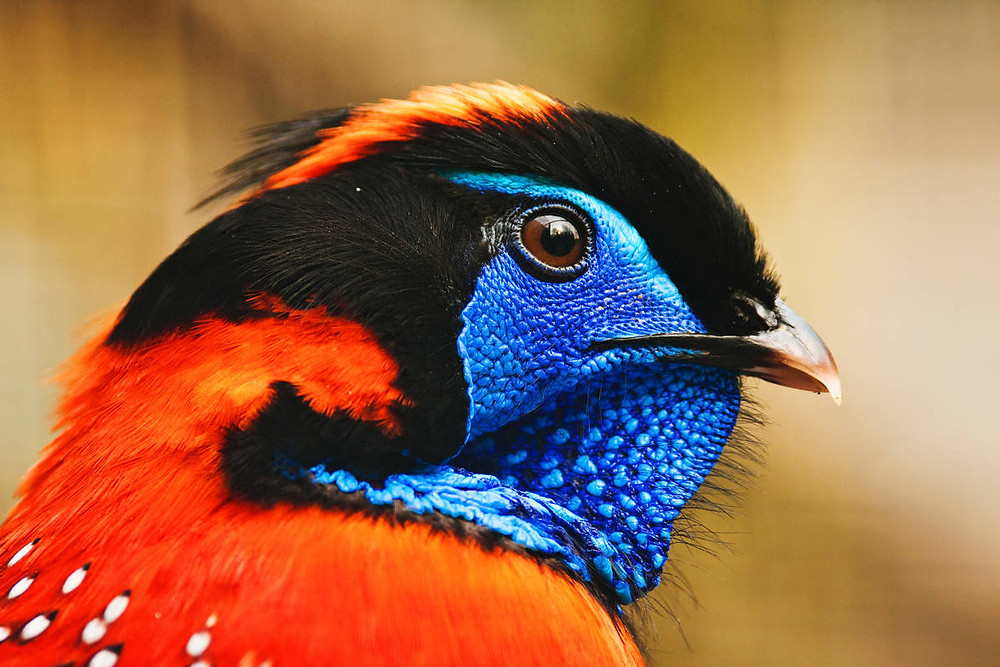 Crimson Horned Pheasant, also known as Satyr Tragopan (Tragopan satyra)