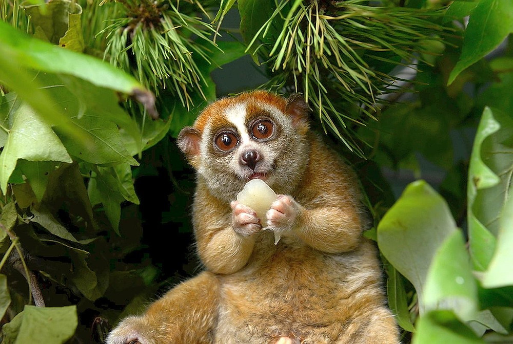 But Beware the Loris!