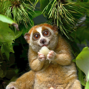 The Slow Loris to Cute to Live?