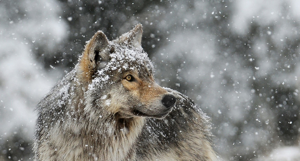 Trouvailles Tours Grey Wolf