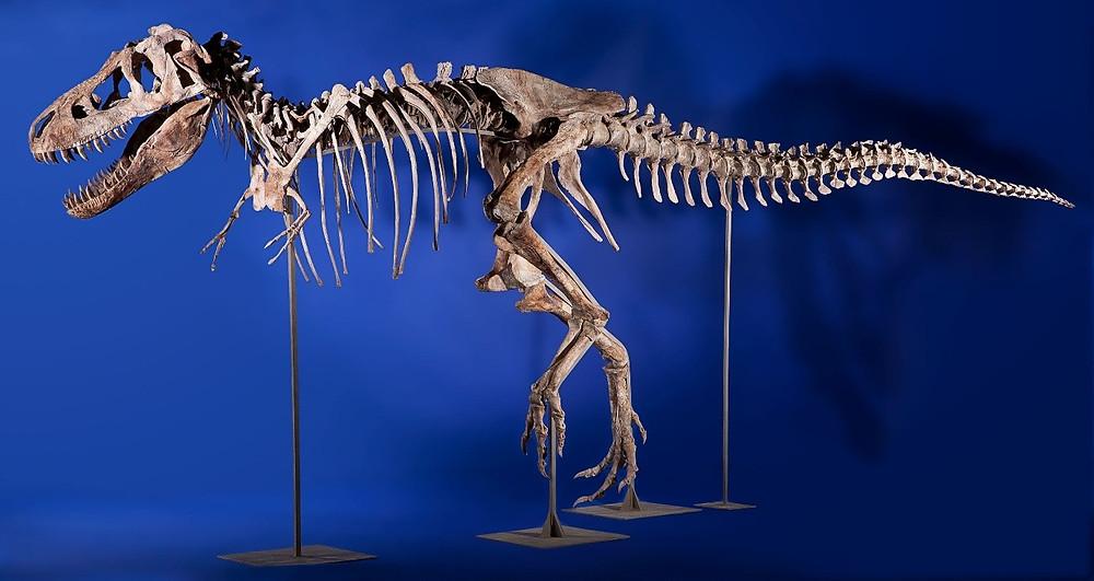 Tarbosaurus (alarming lizard) skeleton