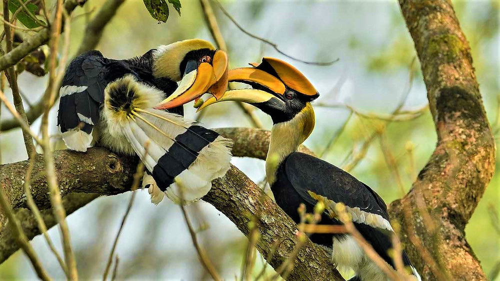 The Great Hornbill - How to Court a Lady